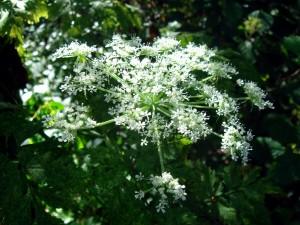 kvet Angelica Sinensis