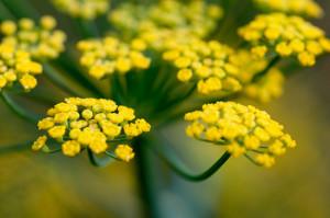 kvet Feniklu