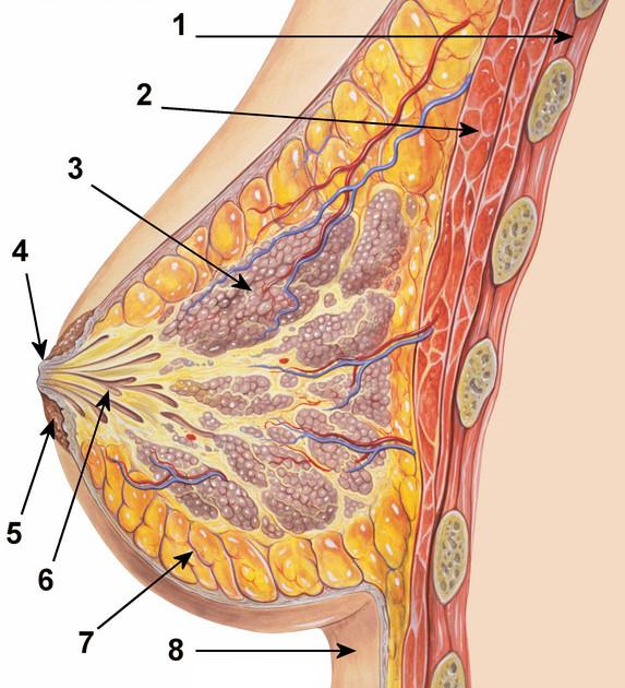 anatomia-prsnika